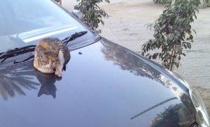 cat on a bonnet